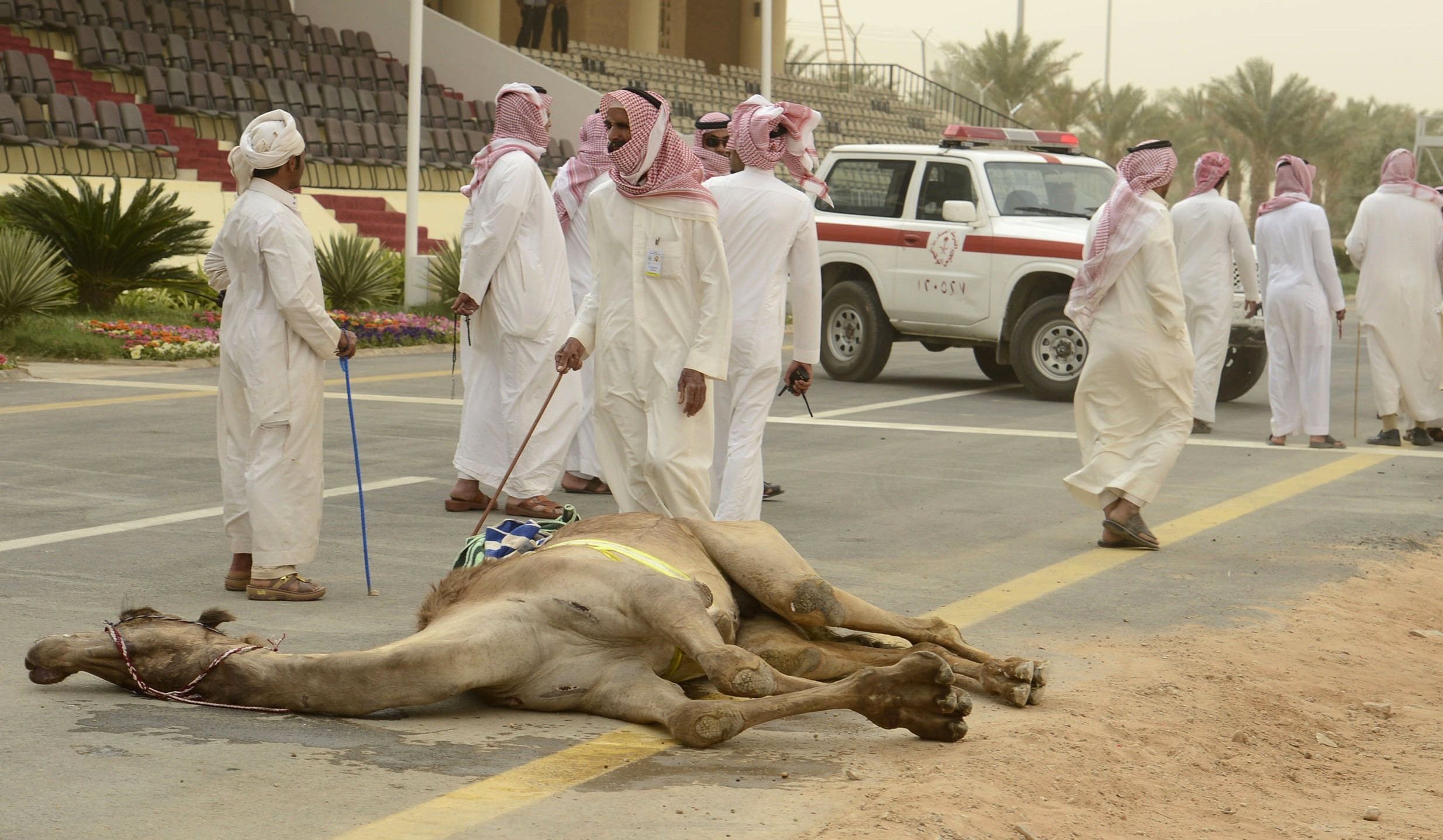 A camel collapses after competing in the 20km camel race during the opening of the Janadriya festival near Riyadh.