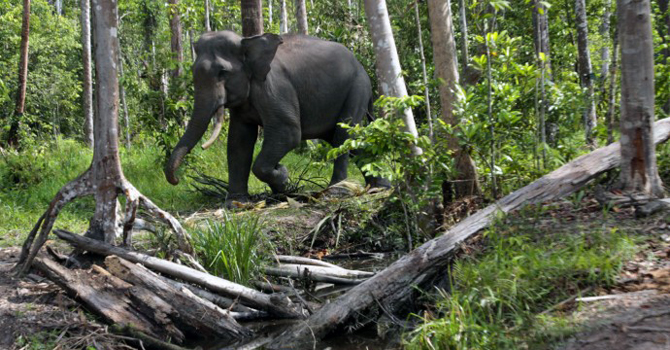 Approval of the plan would open up the forest, on the northern tip of Sumatra province and home to critically endangered orangutans, rhinos, and elephants, for mining, paper and palm oil plantations. —AP (File) Photo