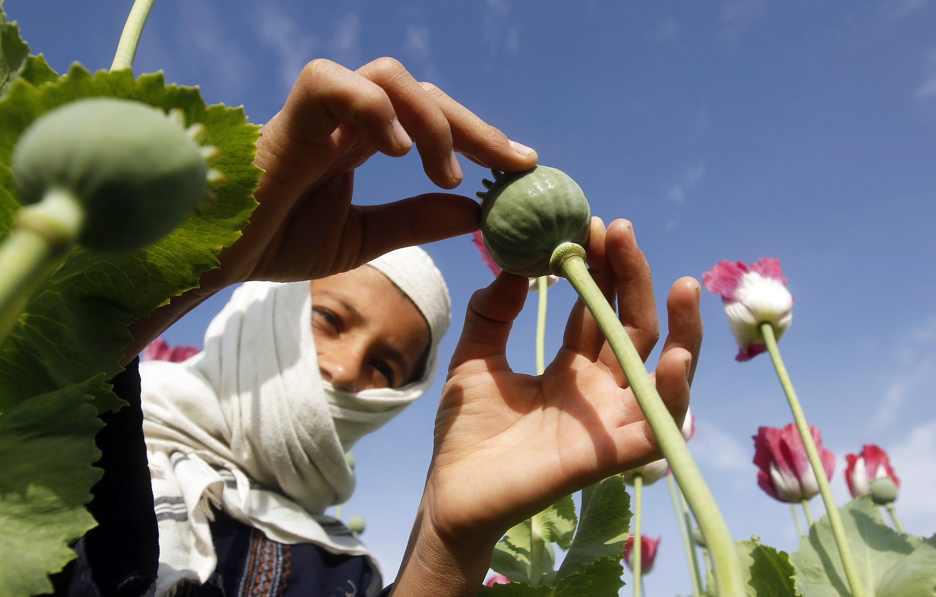 A boy works at a poppy field in Jalalabad province April 7, 2013.