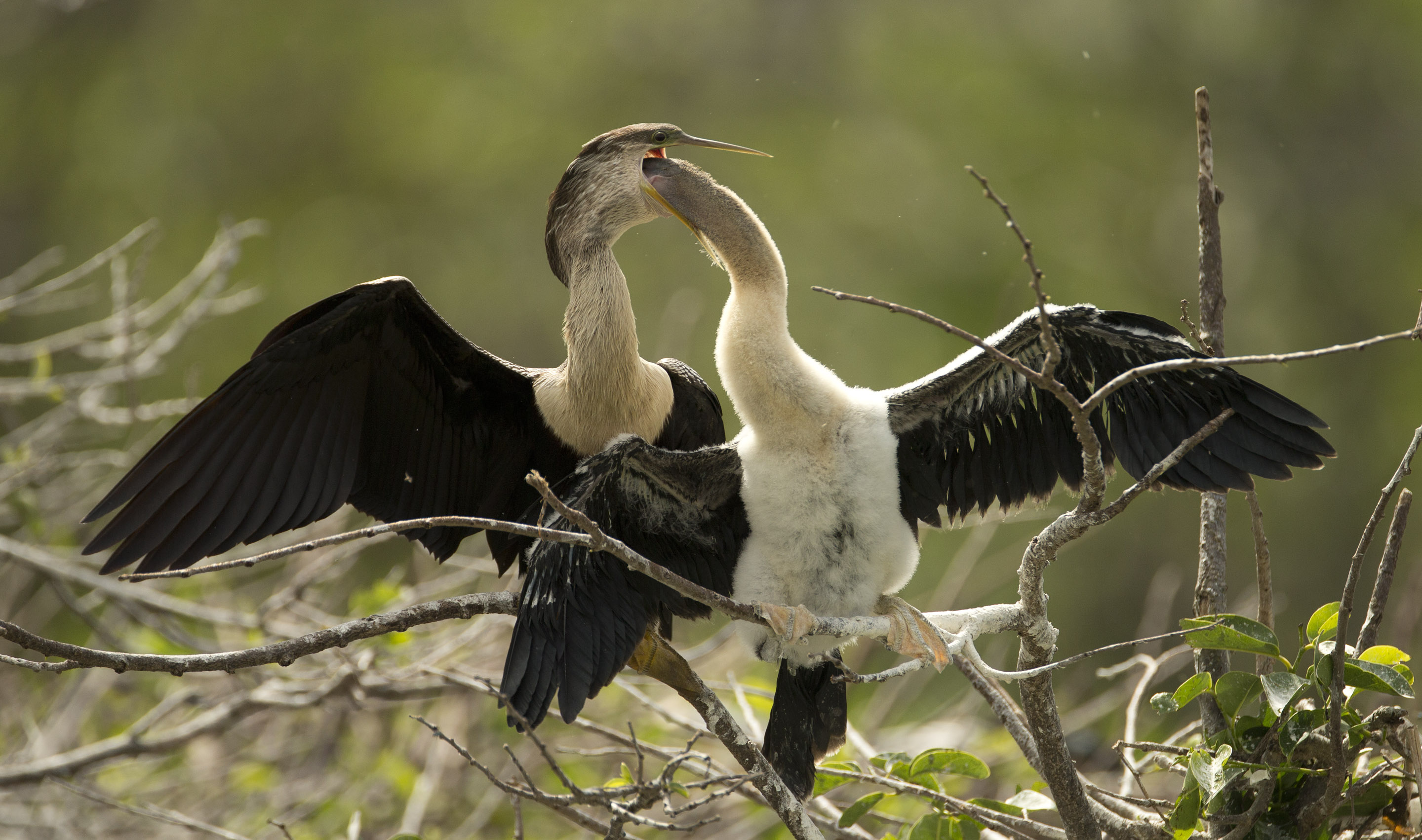 A young anhinga reaches inside a mature bird's mouth for food at the Wakodahatchee Wetlands near Delray Beach.