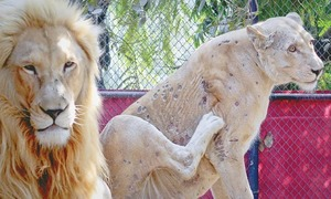 Mysterious skin infection ails white lions at Karachi zoo