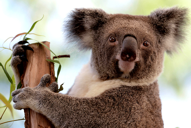 A Koala sits on a branch at the Wildlife Sydney Zoo on April 24, 2013. — AFP Photo