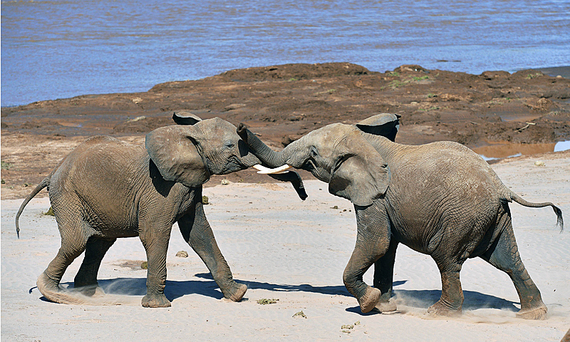 Elephants play fight close to the Ewaso Nyiro river in Samburu game reserve on May 8, 2013. UNEP goodwill ambassador and Chinese actress Li Bingbing was on an official visit in Kenya to highlight issues of Africa's poaching crisis. — AFP Photo