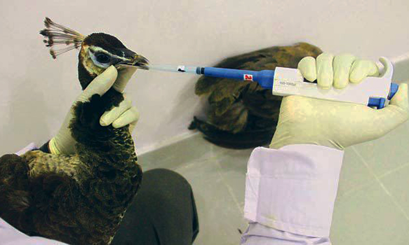 Medicine being administered to an ailing peacock at the Sindh Poultry Vaccine Centre.  — White Star/File photo.