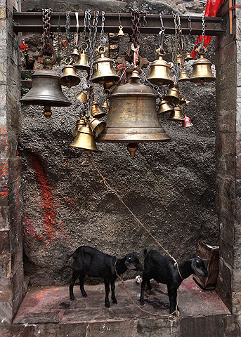 Goats are tied for sacrifice at the Kamakhya temple in Gauhati, India, Wednesday, June 19, 2013. — AP Photo