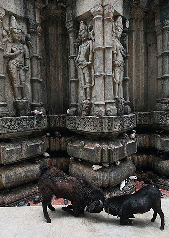 Goats fight at the Kamakhya temple in Gauhati, India, Wednesday, June 19, 2013. — AP Photo