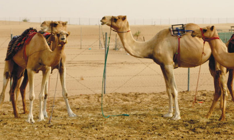 Sleek-racing-camels