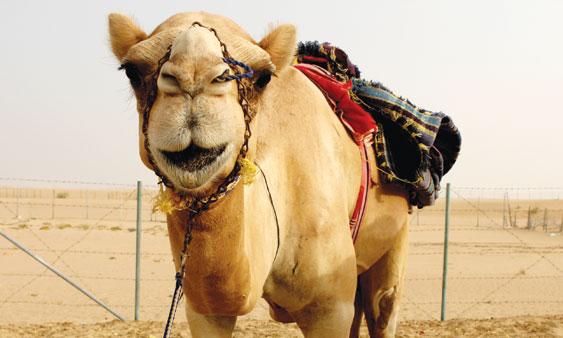 Camel-smile