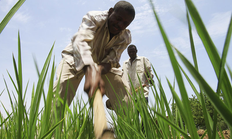 A Sudani works in a experimental rice field that is cultivated as part of the Japanese-backed Gezira rice programme. -Photo by AFP