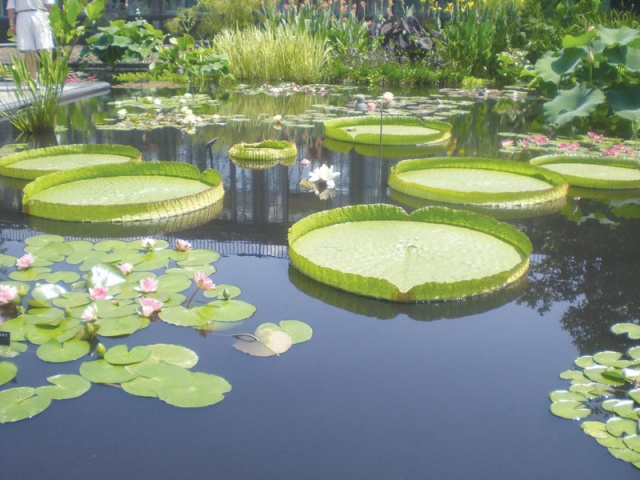 http://i.dawn.com/large/2013/08/5214a76d51a10.jpg Giant Amazon Water Lily