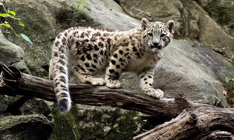 Pakistani Snow Leopards Cub Makes Debut At New York Zoo Siasat