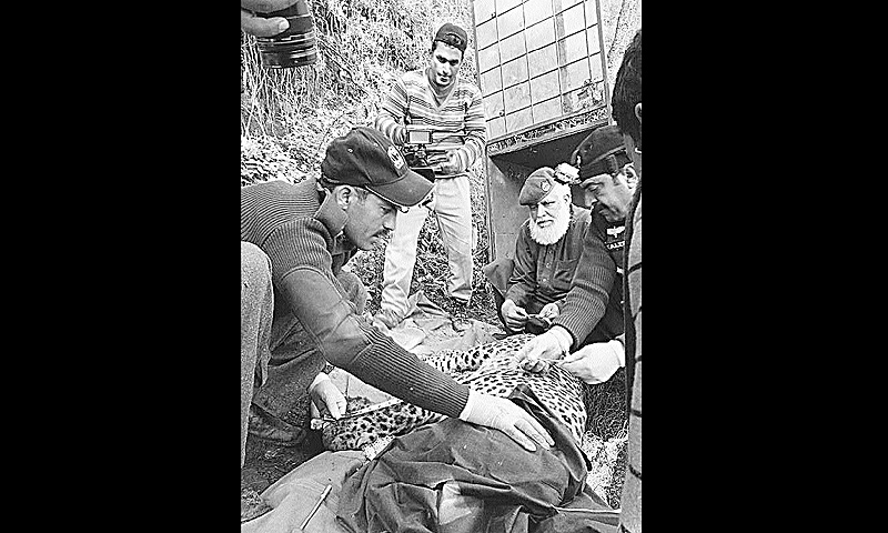 Wildlife officials collect measurements of an anesthetized leopard in Galyat. -Dawn