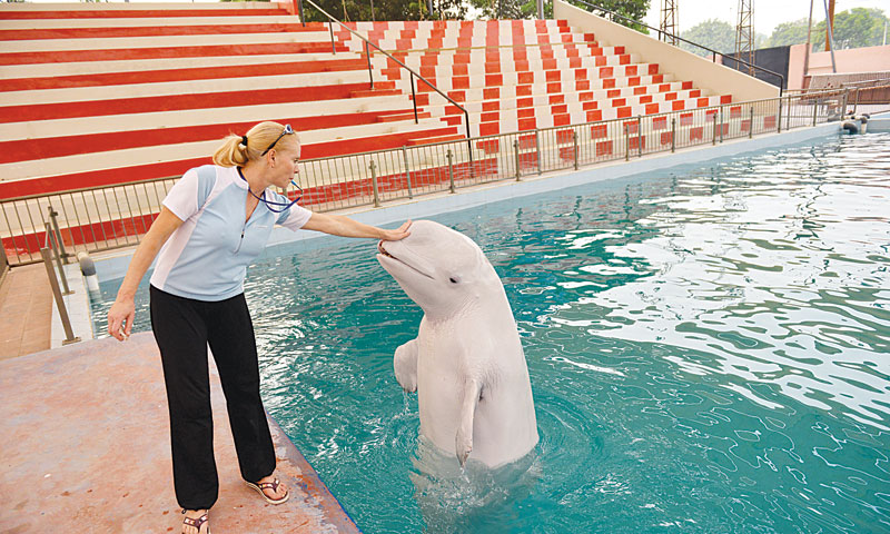The beluga whale comes out of the water on trainer's whistle. — Fahim Siddiqi/White Star