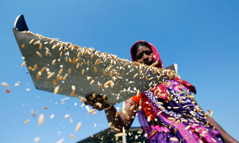 A worker throws rice through the air to remove dust at an agriculture product marketing committee yard at Sanand in the western Indian state of Gujarat Jan 7, 2014.—Reuters Photo