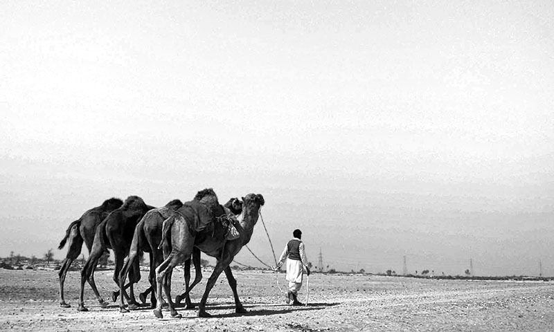 In this photograph taken on February 17, 2014 a villager walks with his camels at the proposed site of the solar energy park at Badaiwani Wala village in Bahawalpur district of Punjab province.  — Photo by AFP
