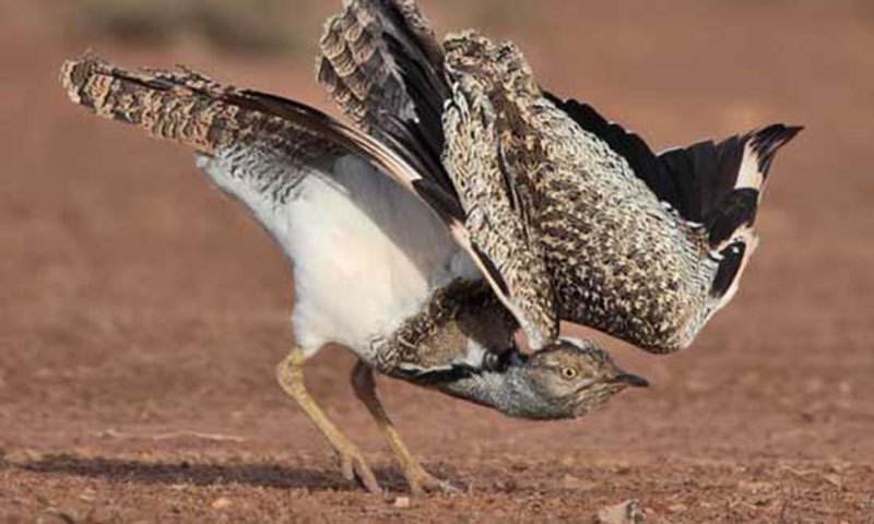 This file photo shows a houbara bustard. - File Photo