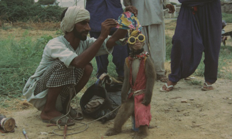 A 'madari' dresses up his monkey in a town in Sindh (1974).