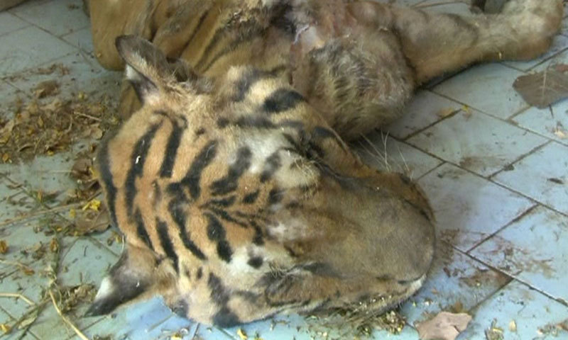 Screen Grab Of DawnNews Footage Shows The Dead Bengal Tiger At The Karachi  Zoo.