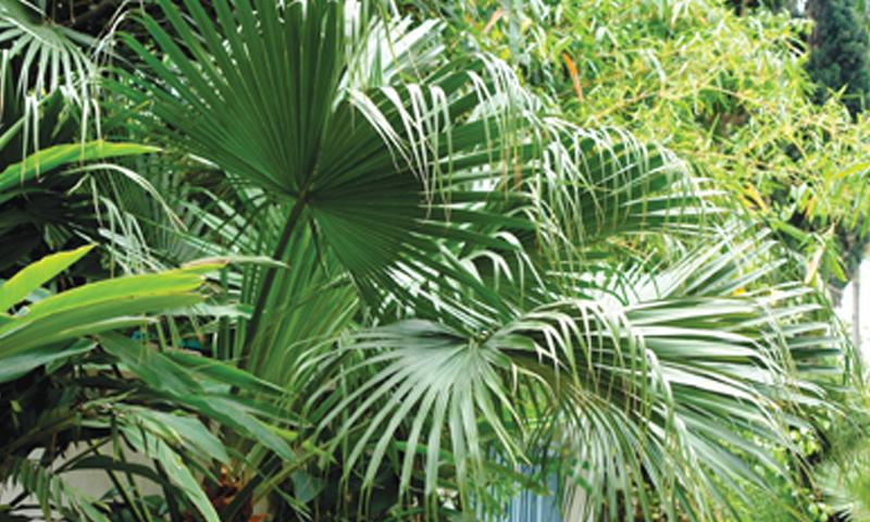 Young Mediterranean fan palm