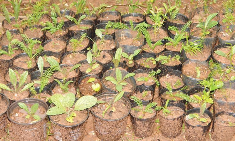 Seedlings awaiting transplantation