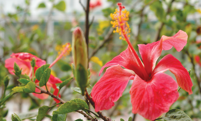 Single hibiscus