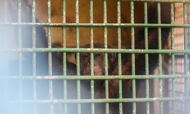 A chimpanzee (Pan troglodytes) at the Karachi Zoo. —Photo by author