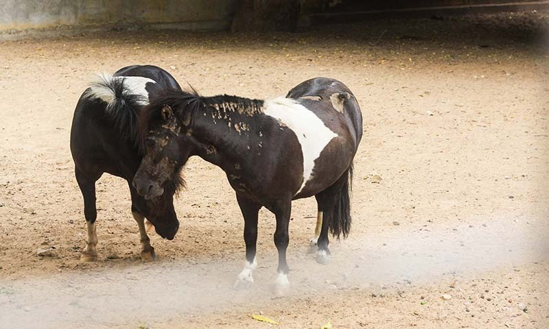 Two miniature horses (Equus ferus) caked in mud. —Photo by author