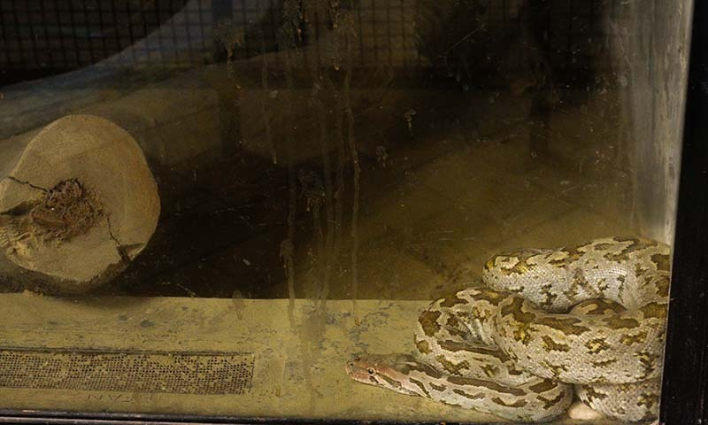 A Burmese python (Python bivittatus) lays in its cage with paan splatters on the glass. —Photo by author