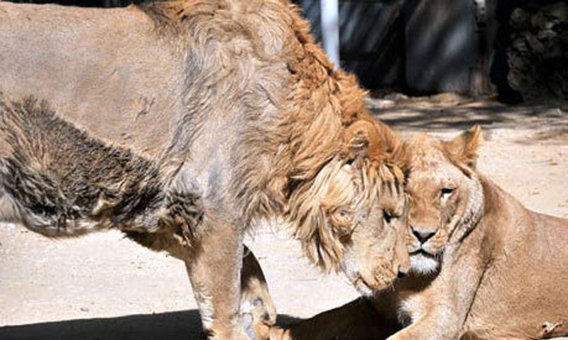 Lion cub dies in zoo due to 'staff negligence' - Pakistan ...