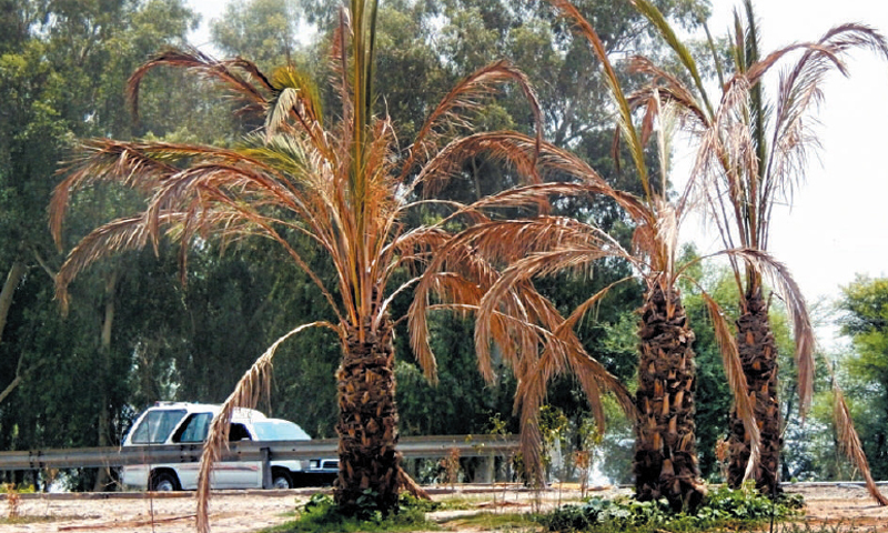 SAHIWAL: Hundreds of palm trees planted across the national highway have gone dry. — Dawn