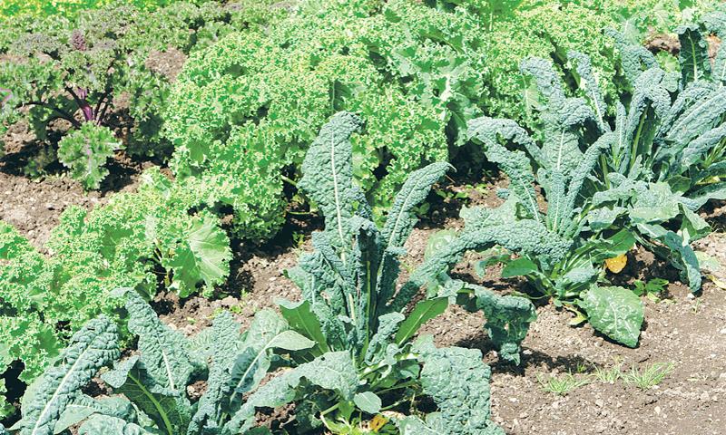 Kale varieties from back: Purple kale, curly kale, Italian kale