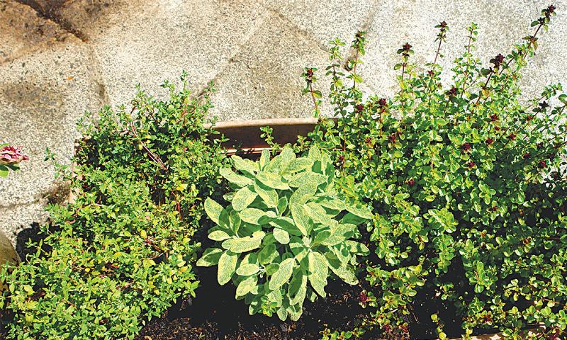 (L to R): Oregano, variegated sage, thyme