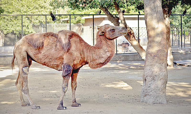 An ailing Bactrian camel with visible injuries is  in its enclosure for public view in the absence of quarantine at the zoo where a sick animal may recuperate.—White Star