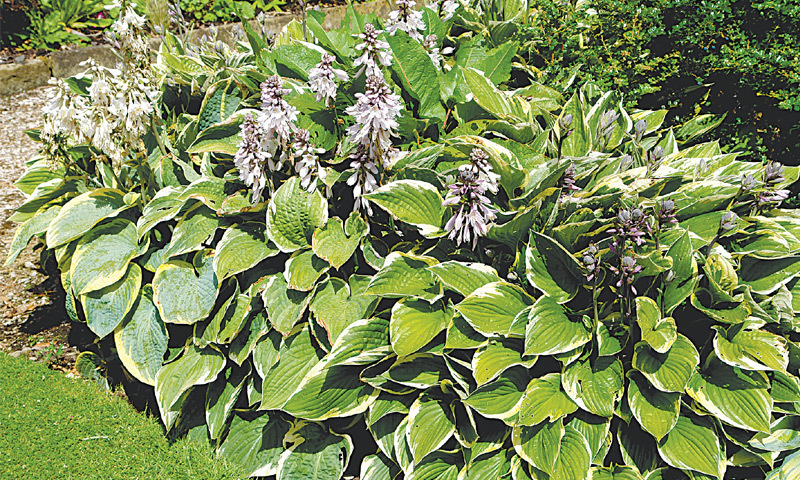Magnificent hostas