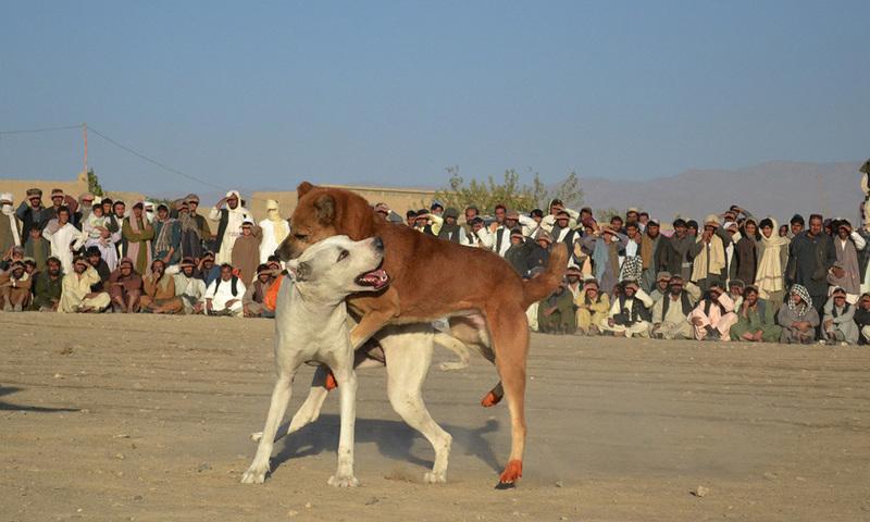 چمن میں کتوں کے مقابلے