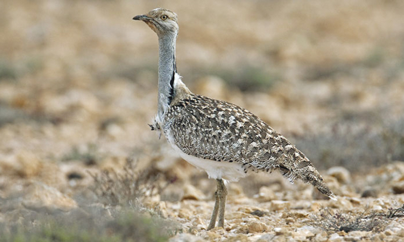 The Houbara Bustard is an endangered bird, whose meat is valued by the Arab falconers as an aphrodisiac.   - AFP/file