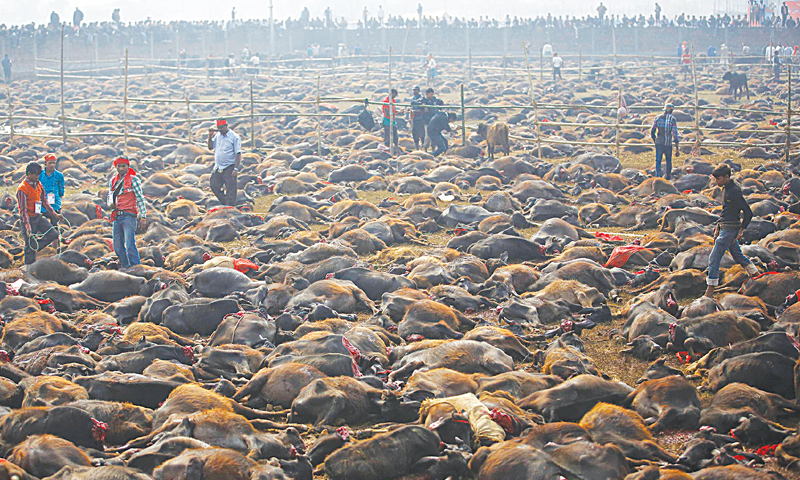 Bariyapur (Nepal): Sacrificed buffaloes lie on the ground of an enclosed compound during a ceremony, known as the 'Gadhimai Mela', on Friday.—Reuters