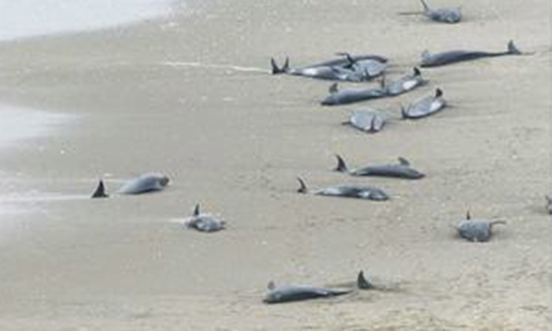Dolphin Melon: Over 140 Melon-headed Whales Feared Dead In Japan