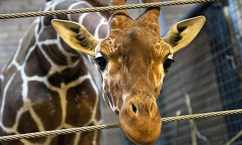 Lahore Zoo seems to be an unfortunate place for giraffes. After every two or three years a giraffe dies owing to one reason or the other. — AFP/file