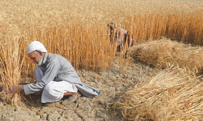 FARM workers harvesting the wheat crop in a field in Mirza Virkaan, a village near Sheikhupura. Unfavourable weather conditions in central Punjab have delayed wheat harvest and affected the size of the crop.—Tariq Mahmood / White Star