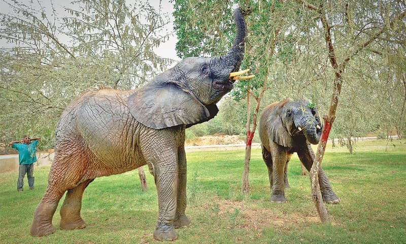 THE Safari elephants forage in a large green open area, a basic need most captive animals are deprived of at government facilities.—Fahim Siddiqi/White Star