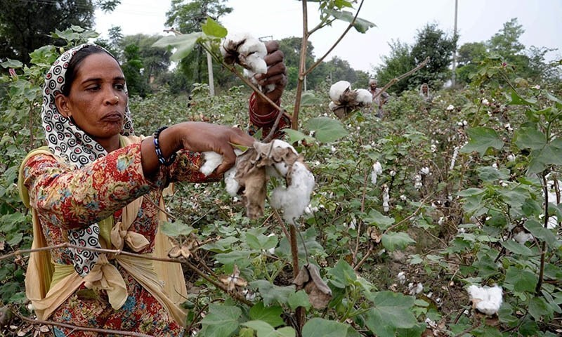 """Almost 99 per cent of all cotton seed available in the market is genetically engineered,"" said Dr Abid Mahmood of the Ayub Agriculture Research Institute. —AFP"