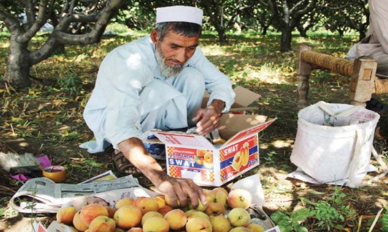 A worker packs peaches at a farm in Swat. — Dawn