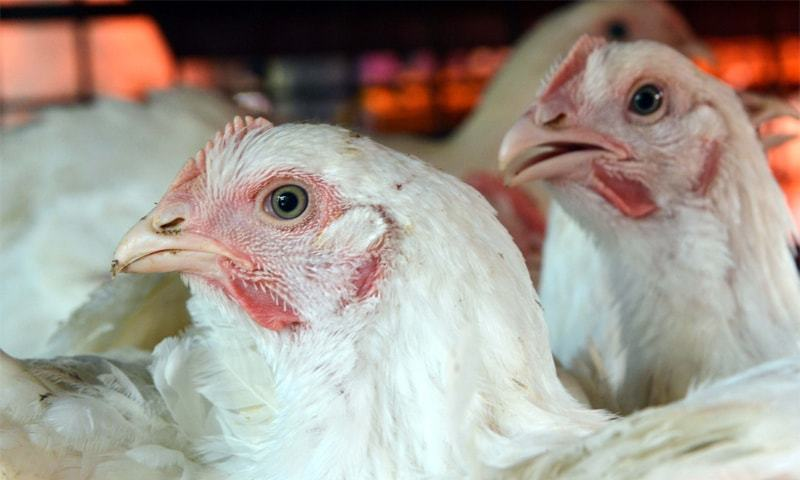 The usage of antibiotics for growth is only practiced in the poultry industry.