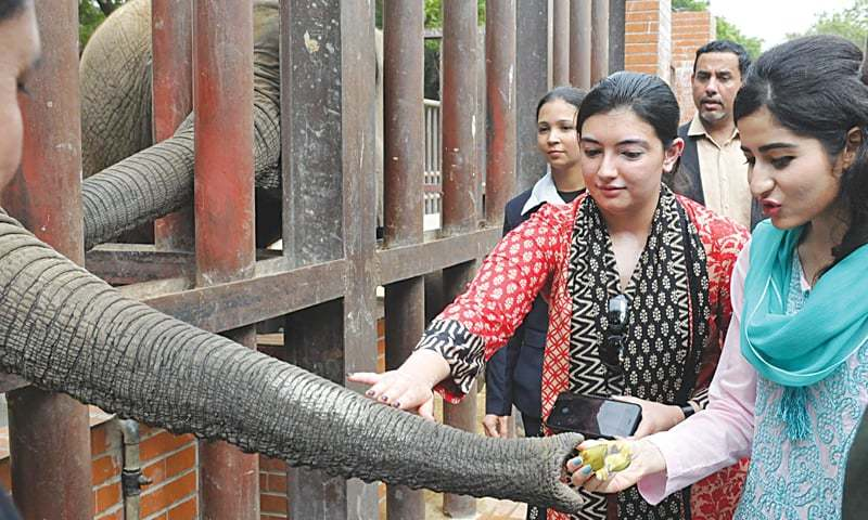 Aseefa Bhutto-Zardari pats an elephant on the trunk at the zoo during a visit to the facility on Tuesday.—INP