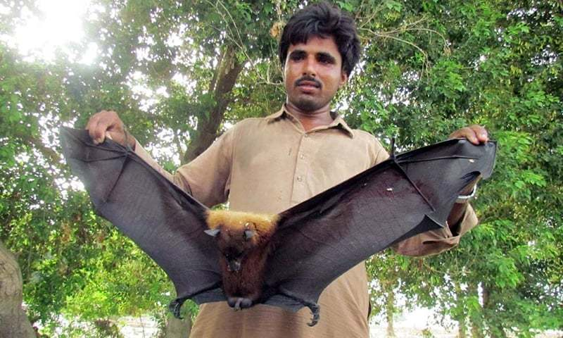 how to say fruit bat in french