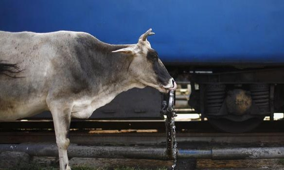 Rumour has always been a weapon for the anti-cow slaughter movement. — Reuters/File