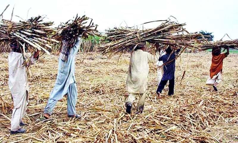 Image result for punjab sugarcane farming