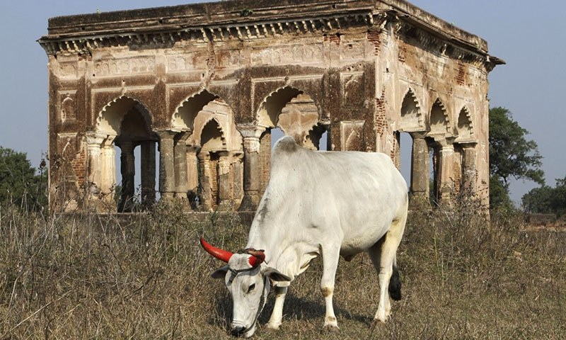 Cow protectionism isn't new in India – but the political cache it commands is. —AP