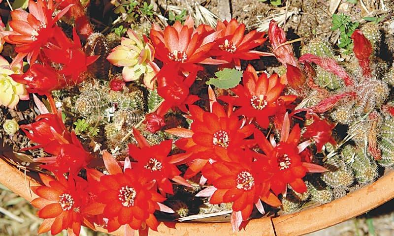 Striking cactus flowers
